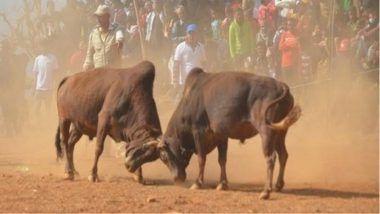 Bull Fighting 'Maghesakranti' Festival Similar to Jallikattu Begins in Nepal
