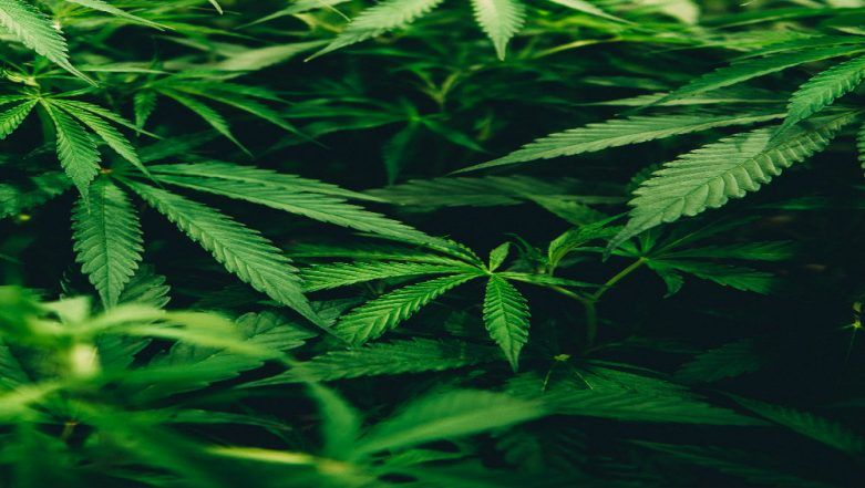 Palghar: 81-Year-Old Man Arrested For Cultivating Cannabis, Says He Was Unaware It Was Illegal