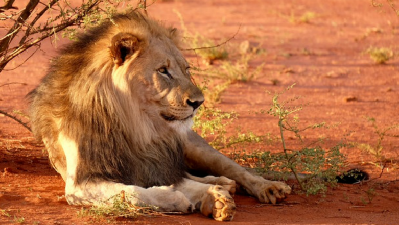 Kruger National Park: Suspected Poacher in South Africa Was Killed By A Pride of Lions