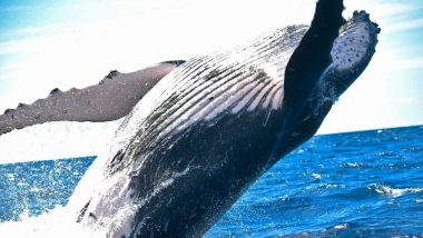 Mother-Son Whale Duo Kills Baby Orca Before Mating With its Mother: Check Weird Infanticide Video