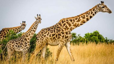 Giraffes May Be The Next Specie To Be Endangered If Humans Do Not Take Immediate Steps