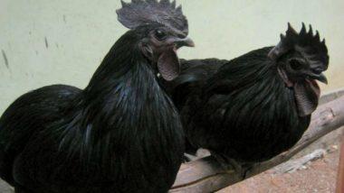 Maharashtra: Farmer Ends Life After Facing Huge Loss in Kadaknath Chicken Scam