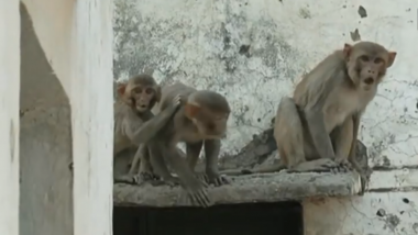 More than 200 Monkeys Die at Amroha in Uttar Pradesh: Poisoning, Chowmein Chutney or Disease Suspected! Watch the Video