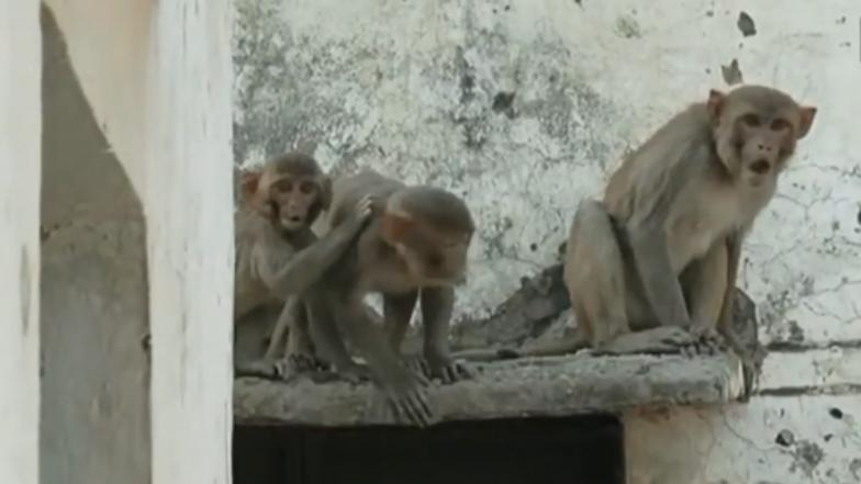 Over 100 monkeys die in aweek in UP's Amroha