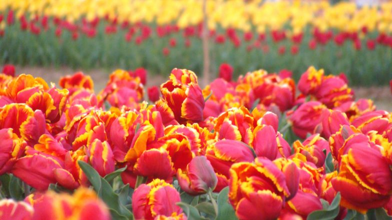 Asia's Largest Tulip Garden on the Banks of Dal Lake in Srinagar Open to Visitors