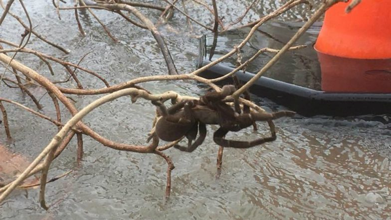 Giant Spider Rescued From Herbert River, North Queensland, Twitterati Frightened After Watching The Video