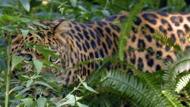 Madhya Pradesh: Rare Leopard Skin Seized From Poacher's Home in Indore