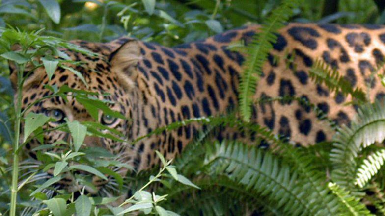 Aurangabad: Leopard Dies in Gautala Wildlife Sanctuary, After Attack by Cows