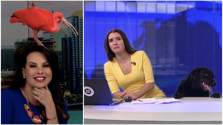 Bird Lands on News Anchor's Head During Live Broadcast, Reminds us of These Videos Where News Presentators Remained Calm