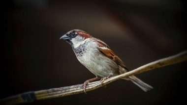 World Sparrow Day 2018: 10 Interesting Facts About The Chirpy Bird Which is on The Verge of Getting Endangered