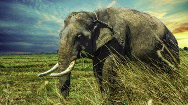 Babu, an Asian Elephant, Struggles to Eat in China
