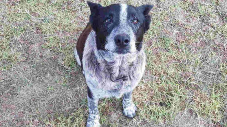 Loyal blue heeler stays with three-year-old lost in bush overnight
