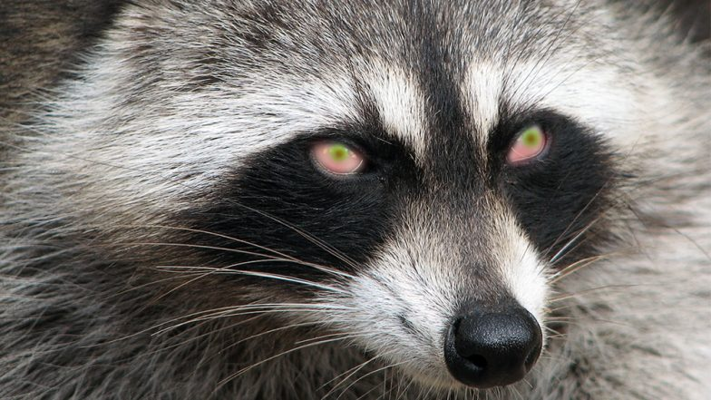 Pet owners warned over rise of 'zombie' raccoons