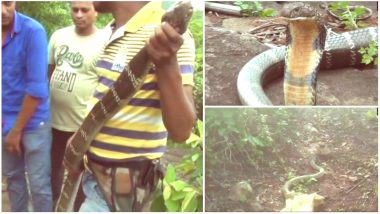 King Cobra, 17-feet-long Found in Odisha: Video of Rare Deadly Snake Warded Off To Nearby Jungle in Mayurbhanj
