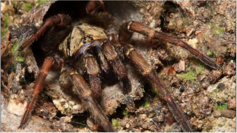 World's Oldest Spider Dies at Age 43 in Australia; A Trapdoor Killed After a Wasp Attack