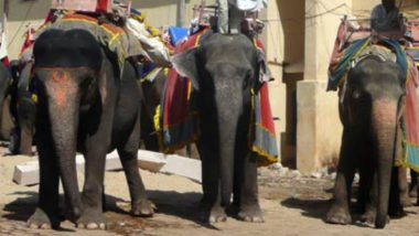 Blind and Sick Elephants are Used for Tourists' Joy Rides at Amer Fort in Jaipur