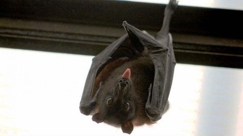 Delhi Has Rare Bat Species, The Asiatic Lesser Yellow House Bat was Never Spotted Before in the City