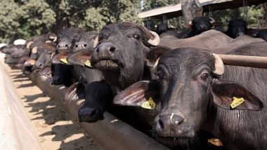 'Operation Bhains Chori' WhatsApp Group Created by Rajasthan Police in Jaipur, Aims to Keep Tab on Buffaloes Theft