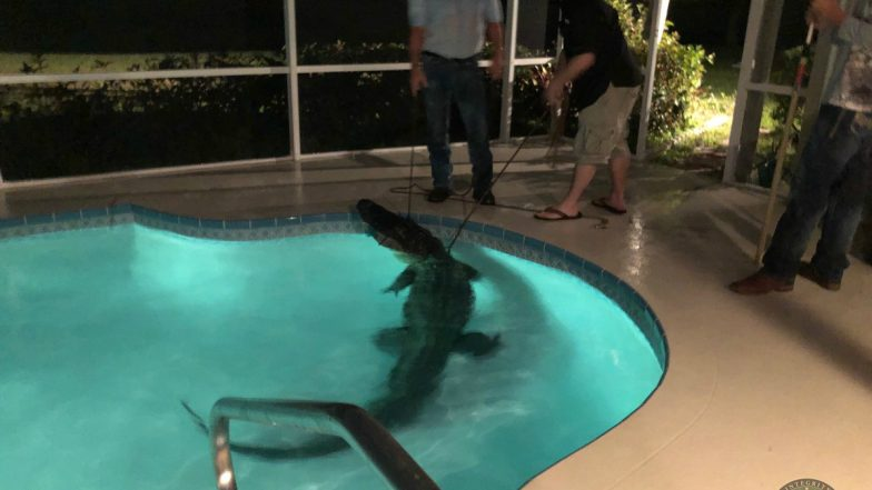 Alligator In Swimming Pool! Video of 11-foot Reptile Emerging From Florida Pool Goes Viral