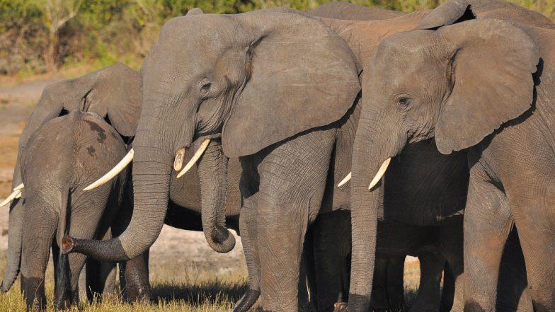 Elephant Wraps Man Defecating in Open in Trunk, Carries Him 50 Metres Away