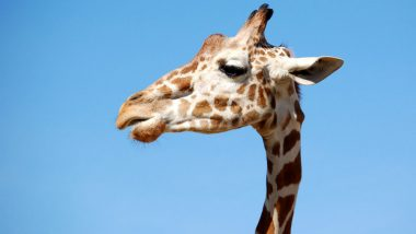 Giraffe Falls Into Deep Trench in Chennai's Vandalur Zoo, Suffocates to Death