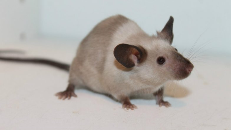 Mice With Human Brains Created for Studying Cure of Neurological Disorders