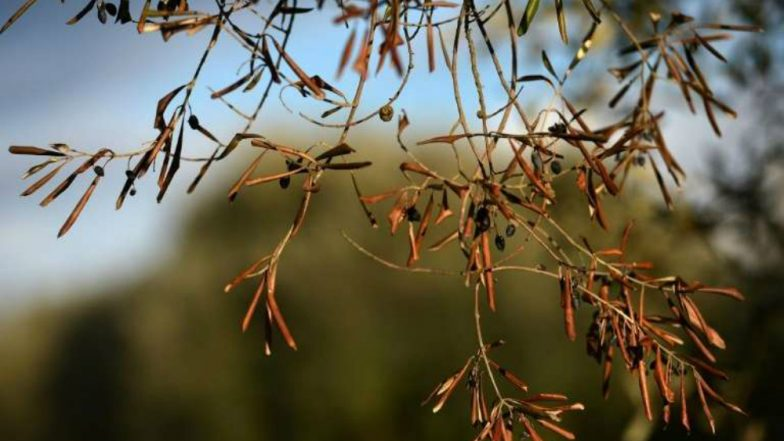 Deadly Olive Tree Bacterial Disease 'Xylella fastidiosa' Detected in Corsica