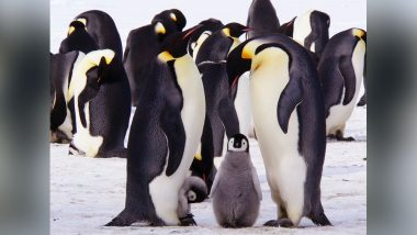 World Penguin Day 2018: Know The Answers to the Most Asked Questions About These Aquatic Birds