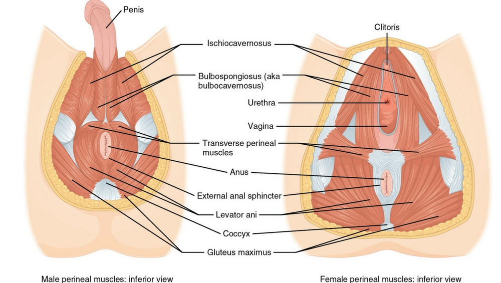Perineum: How to Find and Stimulate This Hidden Erogenous Zone in ...