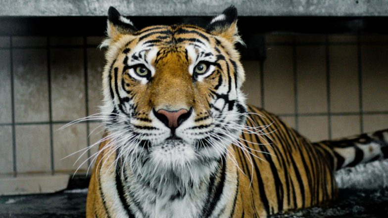 Igor, the Siberian Tiger Becomes First in the World to get Stem-cell Treatment in Hungary