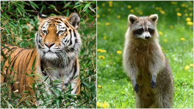 Do You Know the Difference Between a Tiger and Racoon? New Yorkers Don't, Kill The Innocent Animal