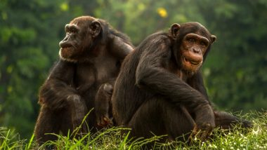 Chimps Sleep on Cleaner Beds Than Humans, Says Study