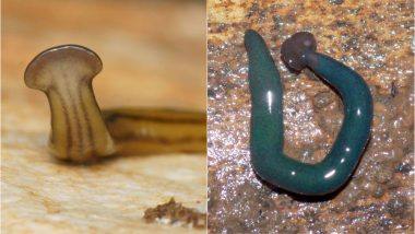 Giant Hammerhead Worms Which Invaded France Two Decades Ago Discovered Now