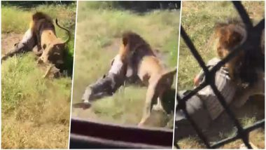 Lion Attacks Man in This Shocking Viral Video Shot at Marakele Predator Park in South Africa!