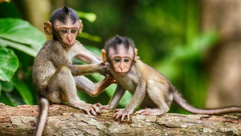 Monkeys Drop Bag Containing Crude Bombs From Tree in Uttar Pradesh's Fatehpur, Three Critically Injured