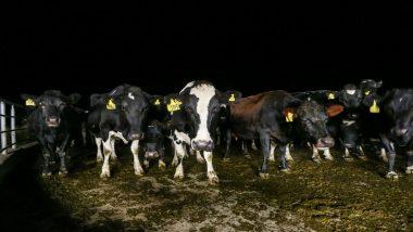 Uttar Pradesh: Over 100 Cows Found Dead in Muzaffarnagar Over Two Days, Probe Ordered