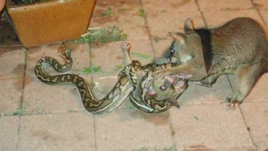 Possum Scratches, Bites Python to Let go Its Baby, Pictures from Queensland, Australia Go Viral