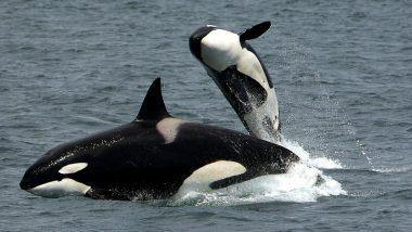 Japan Whale Hunt Killed 122 Pregnant Minke Whales