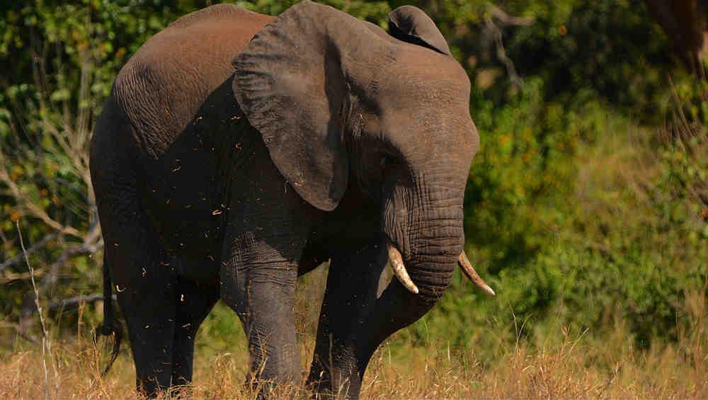 Malaysia: Borneo Pygmy Elephant Shot 70 Times, Tusks Removed