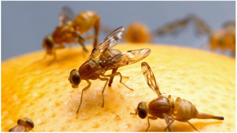 Fruit Flies Enjoy Orgasms More Than Alcohol, Say Israeli Researchers