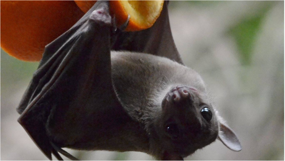 Nipah Virus: Health Experts Warn Against the Virus With 'Serious Epidemic Potential'; No Vaccines or Drug to Combat the Infectious Disease Yet