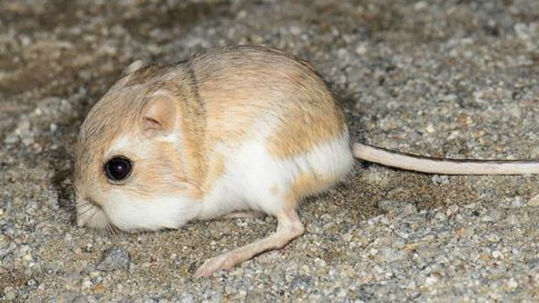 Kangaroo Rats are Not Extinct Yet! Resurface After 32 Years in Mexico