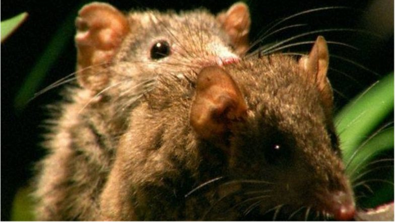 Sex Obsession is Killing Australia's Marsupials, They Are Now Listed Among the Endangered Species