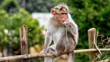 Monkeys Continue to Create Menace in Agra, Snatch Bag With Rs 2 Lakh Cash From Girl!