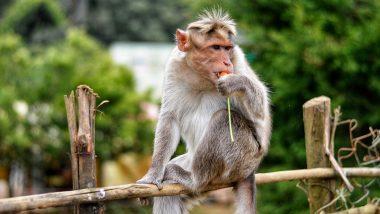 Monkeys Wreak Havoc at Sambhal in Uttar Pradesh, Attack 225 People in 15 Days