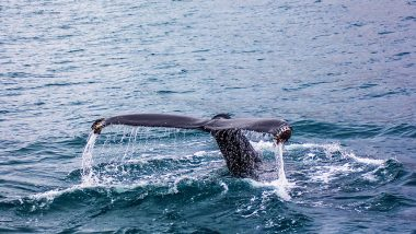 Japanese Hunters Kill 120 Pregnant Whales, 114 Babies For 'Scientific Research'