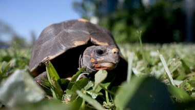 Jonathan the tortoise, World's Oldest Living Land Animal Who is Blind Can't Have Cataract Surgery as it is Risky