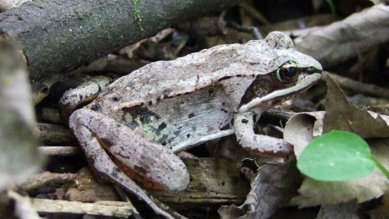 These Frogs Cannot Pee for Entire Winter Season for Their Survival in Hibernation