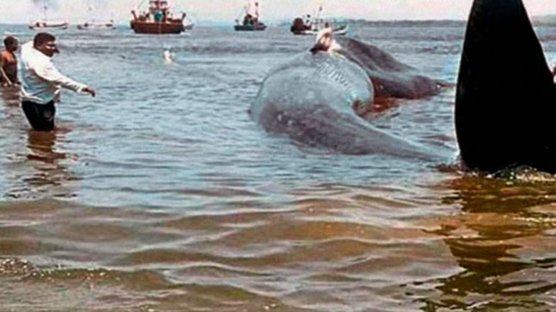 40 Feet Long Whale Washes Ashore Near Mumbai