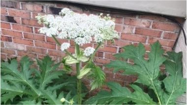 Giant Hogweed Plant Causes Blindness and Skin Burns Discovered in Virginia, United States